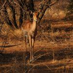 2016-Südafrika-01 - 14235829622014-08-18_Impala.jpg