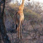 2016-Südafrika-01 - 14235830042014-08-18_Giraffe.jpg