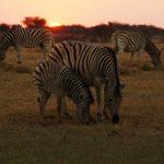 2016-Südafrika-01 - 14235830202014-08-18_Zebras.jpg