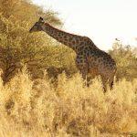 2016-Südafrika-01 - 14235839652014-08-23_Giraffe.jpg