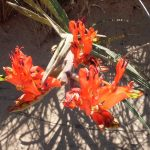 2016-Südafrika-01 - 14260233359Namaqua_Blumen-2.jpg