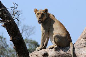 Löwe auf Baum